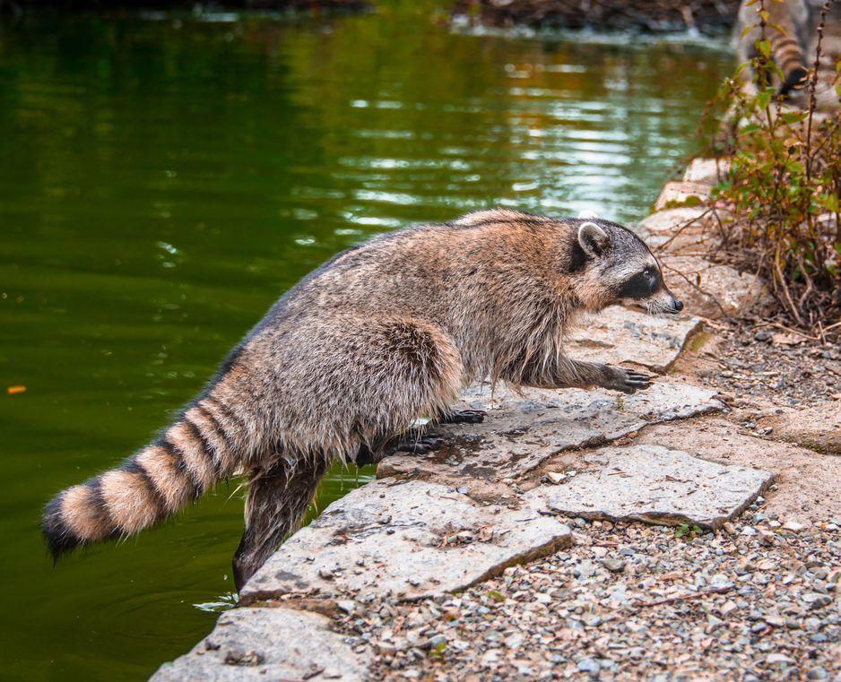 Raccoon Rabies Toronto